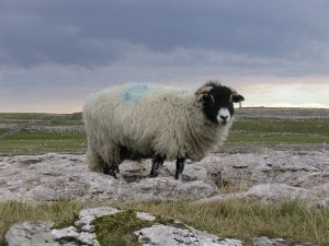 Sheep on the Yorkshire Dales