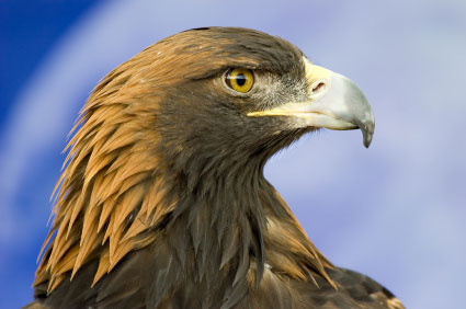 golden-eagle-430.jpg