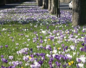 Halifax crocus