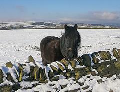 Stainland Pony
